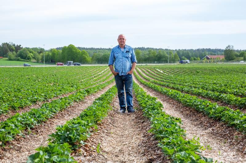 Bonde Arnstein Pollestad regner med økte kostnader under årets jordbærplukking, da han må bruke norsk arbeidskraft. Ikke fordi de norske arbeiderne vil ha bedre lønn, men fordi de sannsynligvis vil plukke færre bær.