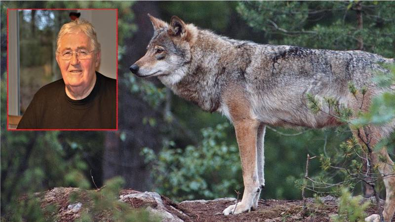 «Flere ulver ble skutt eller «tatt ut» som det kalles, inne i en ulvesone. Dette til tross for våre internasjonale forpliktelser om å verne truede dyrearter.»