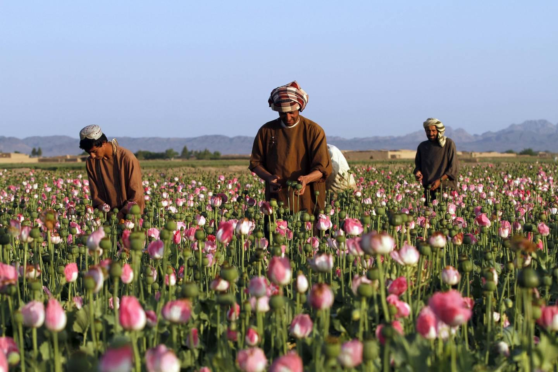 HAUSTAR INN: Bønder haustar inn råopium i Zhari-distriktet i Kandahar i Afghanistan
