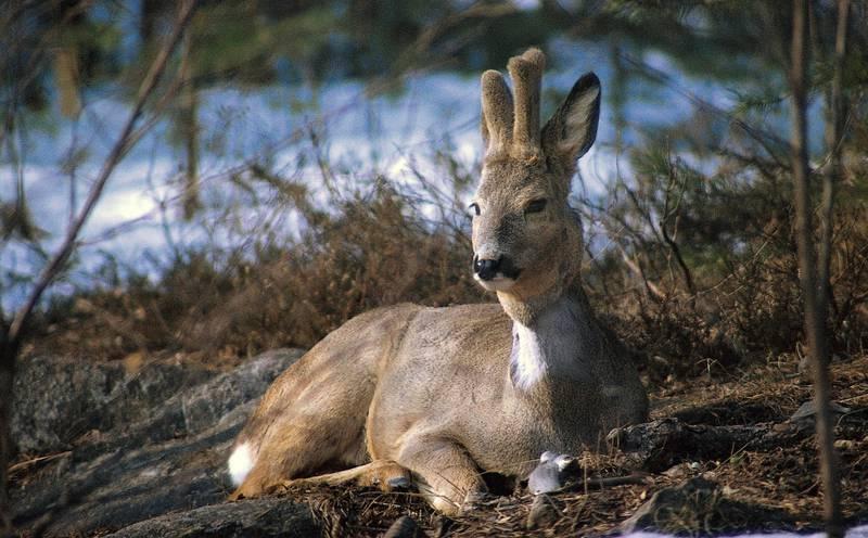 råbukk: Det har blitt utallige blinkskudd for naturfotografen Sverre M. Fjelstad i årenes løp. Her er ett av dem. FOTO: SVERRE M. FJELSTAD