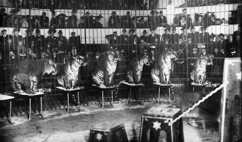 Cirkus Orlando og «Henriksens 10 dresserte kongetigere» gjesta Cirkus flere ganger, her i 1908. Tigrene var ikke bedre dressert enn at publikum måtte sitte bak gitter.