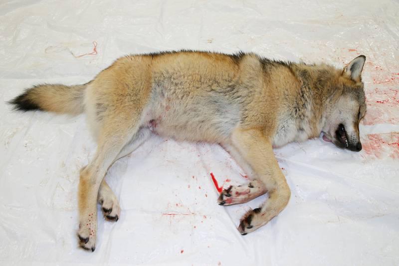 Den omfattende ulvejakten i Norge vekker oppsikt verden rundt. Denne ulven ble skutt i Ringsaker i november i fjor. – Jeg har alltid sett på Norge som et progressivt land, men nå er jeg ikke så sikker lenger, skriver en canadisk kvinne. Hun forteller også at hun er skrekkslagen over jakten, i en epost til klima- og miljøministeren.