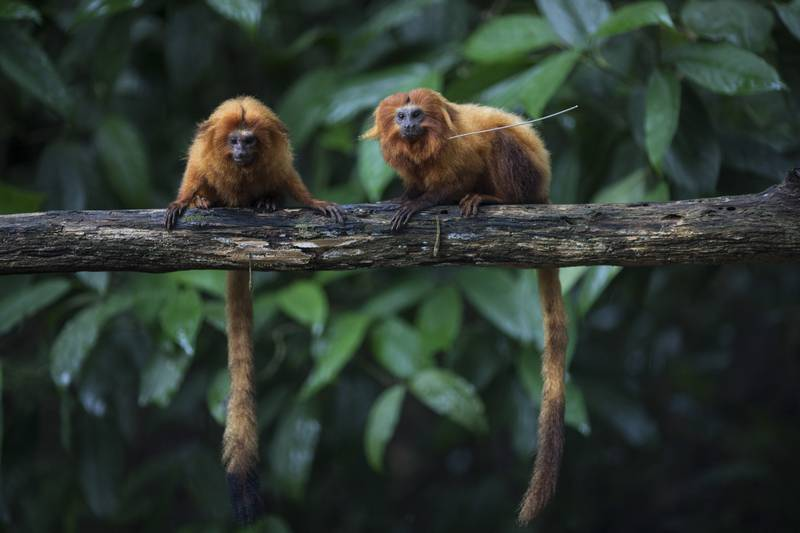 """Golden lion tamarins sit on a tree branch in the Atlantic Forest in Silva Jardim, state of Rio de Janeiro, Brazil, Monday, April 15, 2019. """"The Atlantic rainforest is one of the planet's most threatened biomes, more than 90 percent of it was deforested,"""" said Luis Paulo Ferraz of the nonprofit group called Save the Golden Lion Tamarin. """"What is left is very fragmented."""" (AP Photo/Leo Correa)"""