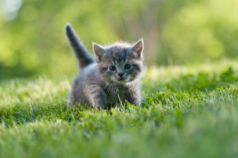 cute gray kitten in the grass