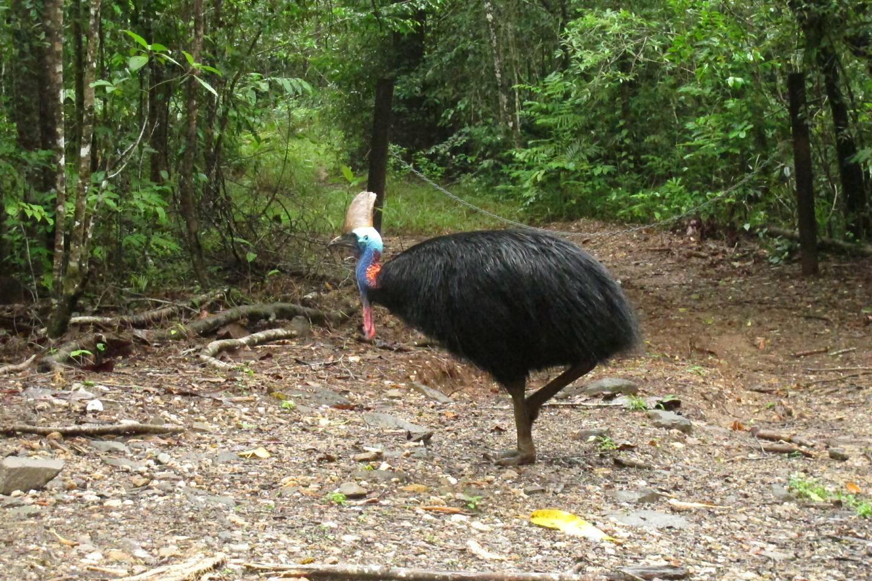 Den utrydningstruede kasuaren (engelsk cassowary) hører hjemme i Daintree-regnskogen. Med sine 1,8 meter og 60 kilo, er de verdens tredje største fugleart etter struts og emu.