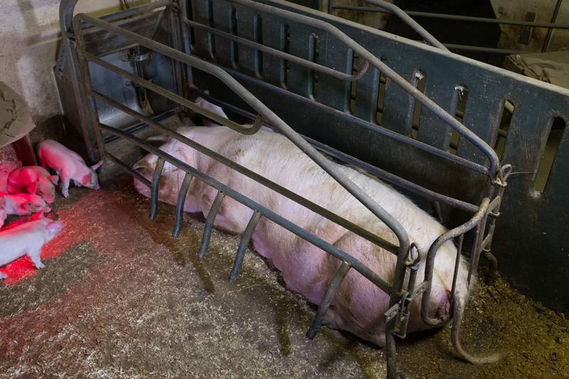 Forbud mot fiksering av gris og trange bur i landbruket.