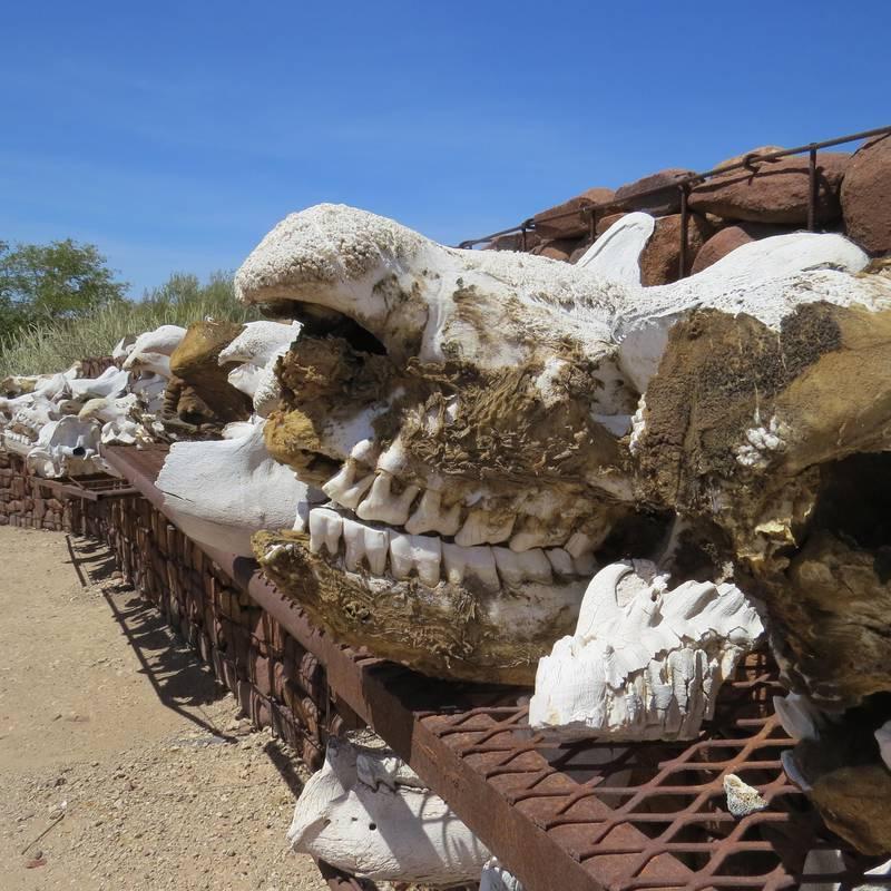 Spissneshorn er blant artene som krypskyttere i Namibia tidligere har skutt mange av. Her er hodeskallene til noen av neshornene som har måttet bøte med livet på denne måten.