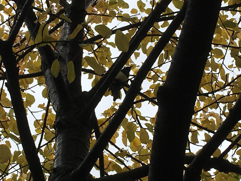 Trær har mange ulike funksjoner i byene, og mange arter utover mennesket, nyter godt av dem. For fugler, her representert ved en skjære, er de både hjemmested og gjemmested.
