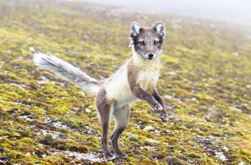 Fjellreven er fortsatt et av Norges mest utrydningstruede pattedyr, men etter en nedgang i bestanden de siste tjue årene, har utviklingen nå snudd. De siste årene har et avlsprosjekt gitt positive resultater, og bestanden er nå på minimum 192 individer.