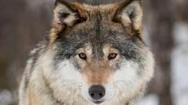 Vi ønsker større bestander av ulv og annet rovvilt