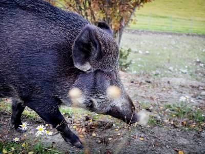 Kraftig økning i felte villsvin i Norge