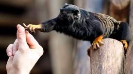 Aper skifter «dialekt» når de møter andre arter