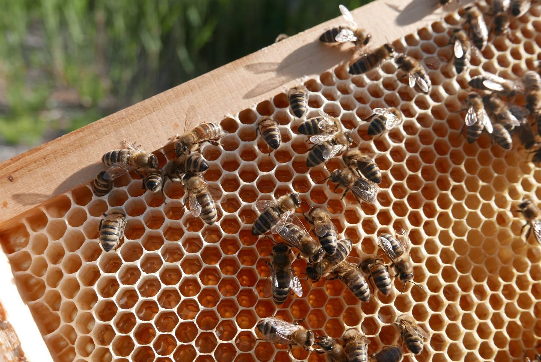 Nærbilde av bier på rammen i en kube