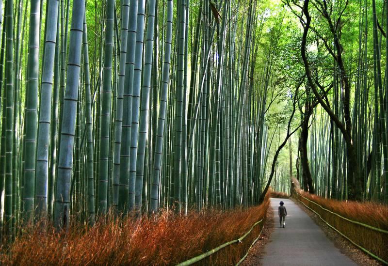 I Kyotos bambusskog blir menneskene små.