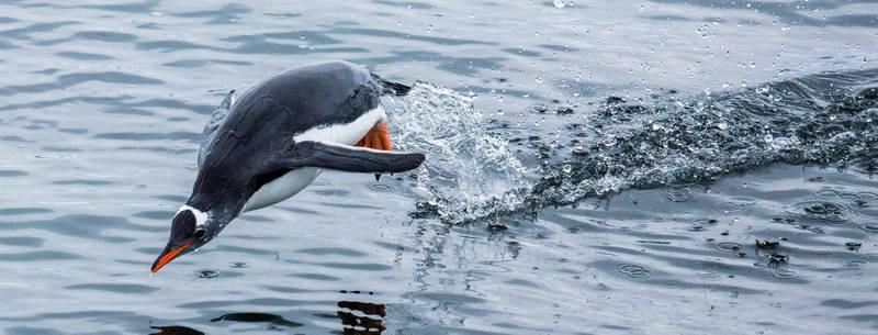 Pingviner og mange andre arter kan bli utsatt for forurensningen i Antarktis.