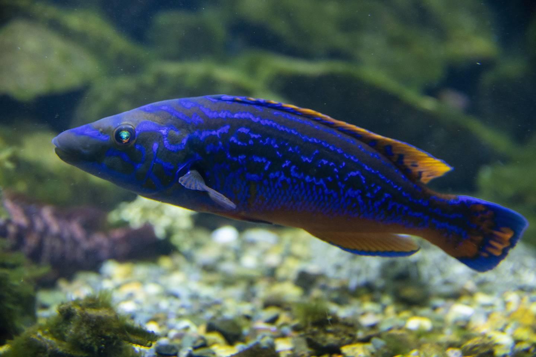 Dette er hannen av fiskearten Labrus mixtus, som kalles blåstål. Men hva kalles hunnen?