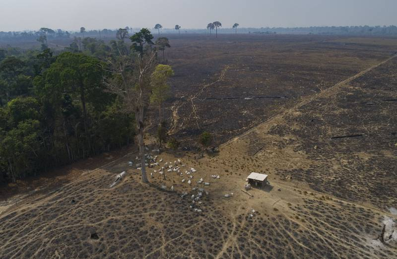 FILE - In this Aug. 23, 2020 file photo, cattle graze on land recently burned and deforested by cattle farmers near Novo Progresso, Para state, Brazil. Environmental groups and indigenous activists from the Amazon region filed a lawsuit on March 3, 2021 alleging that a France-based supermarket chain is violating human rights and the environment by selling beef linked to deforestation and land grabs. (AP Photo/Andre Penner, File)