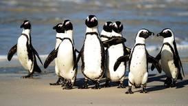 Flere utrydningstruede pingviner drept av honningbier