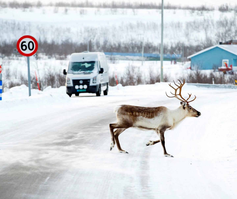 Du må ikke alltid dra på safari på vidda for å se reinsdyr … Foto: Heiko Junge/NTB