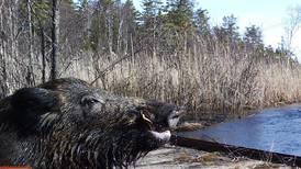Kamerafeller avslører stadig flere villsvin i norsk natur