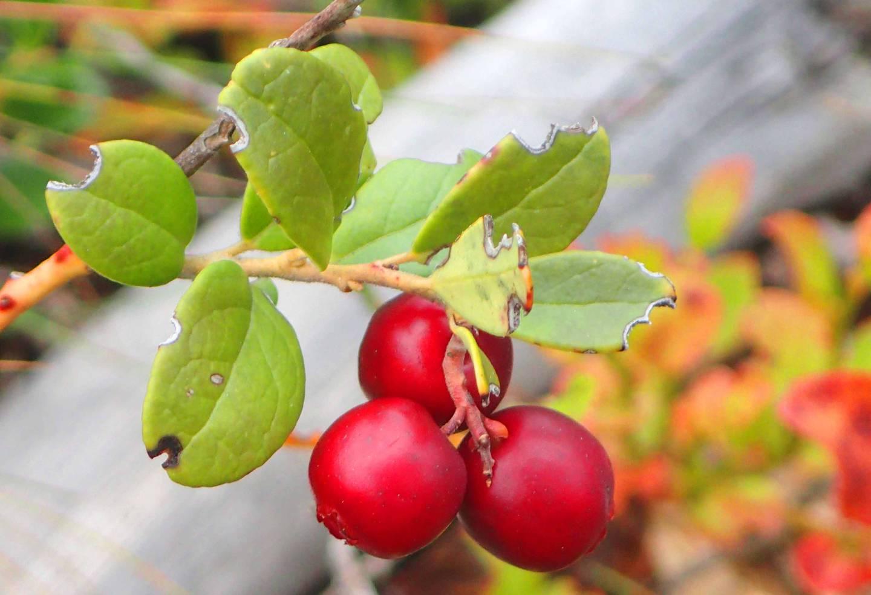 Områdene rundt Lurdalen er gode tyttebærtrakter.