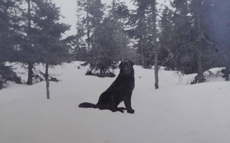 Kjells hund Bjønn som ble skutt av nazistene under slaget på Nykjua 10. mars 1945. Foto utlånt av Oddveig Moen.
