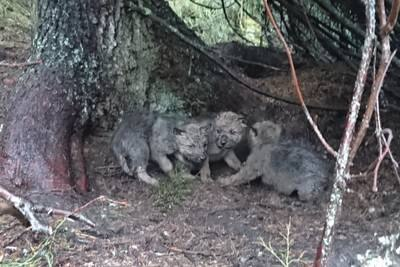 Tolv nye ulvekull i vinter – bestanden er over målet