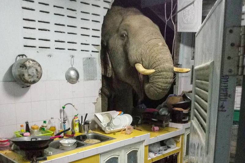 """TOPSHOT - This photograph taken on June 20, 2021 and received courtesy of Radchadawan Peungprasopporn via her Facebook account on June 22, 2021 shows an elephant searching for food in the kitchen of her home in Pa La-U, Hua Hin. (Photo by Radchadawan PEUNGPRASOPPORN / FACEBOOK / AFP) / -----EDITORS NOTE --- RESTRICTED TO EDITORIAL USE - MANDATORY CREDIT """"AFP PHOTO /FACEBOOK ACCOUNT OF RADCHADAWAN PEUNGPRASOPPORN """" - NO MARKETING - NO ADVERTISING CAMPAIGNS - DISTRIBUTED AS A SERVICE TO CLIENTS"""