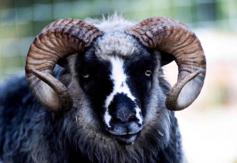 Sauene i Hjorteparken er av typen gammelnorsk spælsau, og mange av dem er glad i kos. Dette er væren Rocky.