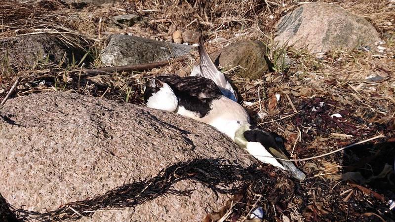 Hundrevis av ærfugl sultet i hjel i Oslofjorden tidligere i år.
