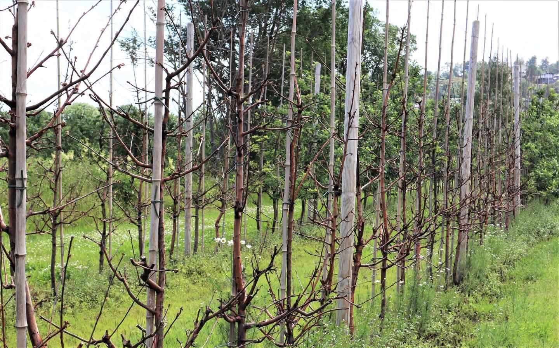 På jordet til Pål Audun Høyen i Svelvik er et stort felt med epletrær døde på grunn av de spesielle forholdene i vinter.