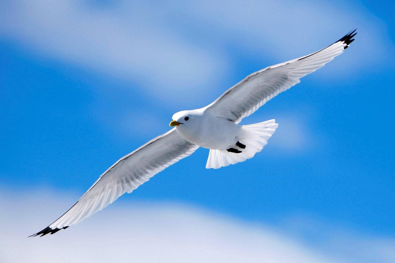 – Flere av sjøfuglene er i en svært presset situasjon sier klima- og miljøminister Ola Elvestuen (V). Polarmåken er blant artene som har rødlistestatus. Foto: Håkon Mosvold Larsen/NTB Scanpix