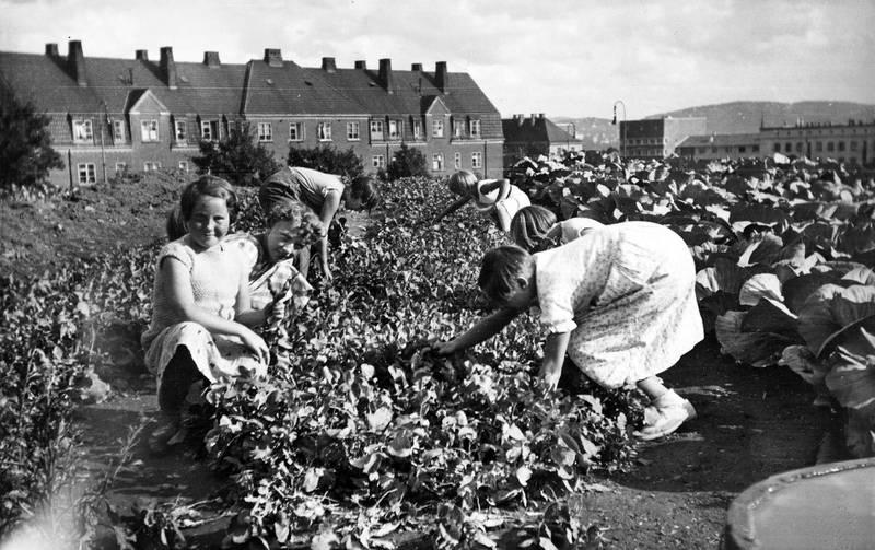 Innhøsting i Geitmyra skolehage på begynnelsen av 1950-tallet.