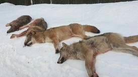 Regjeringen sår tvil om antallet rovdyr