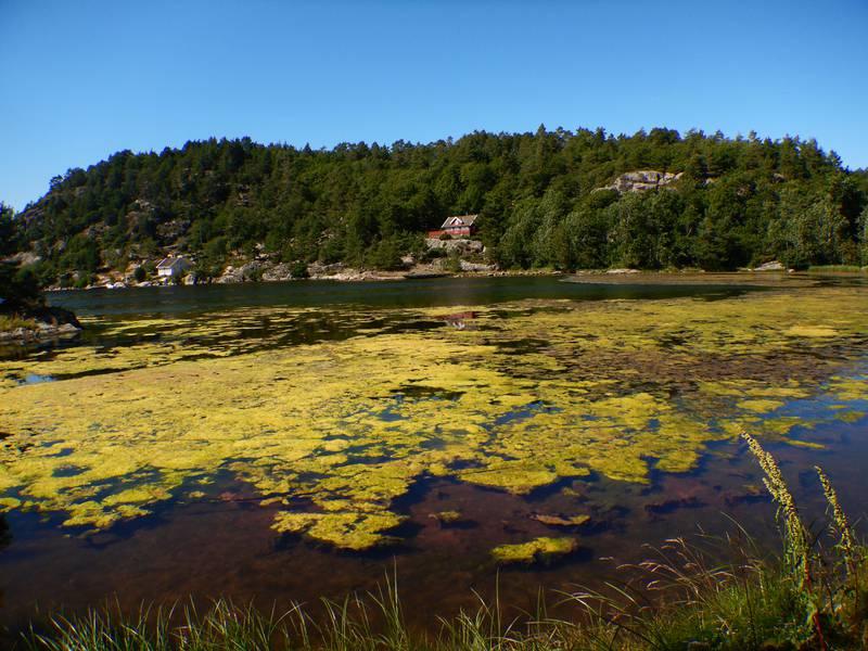 Flytende algematter slik som dette, kan komme til å spre seg videre utover i Oslofjorden, hvis ikke mottiltak blir iverksatt. Foto: Hartvig Christie/NIVA