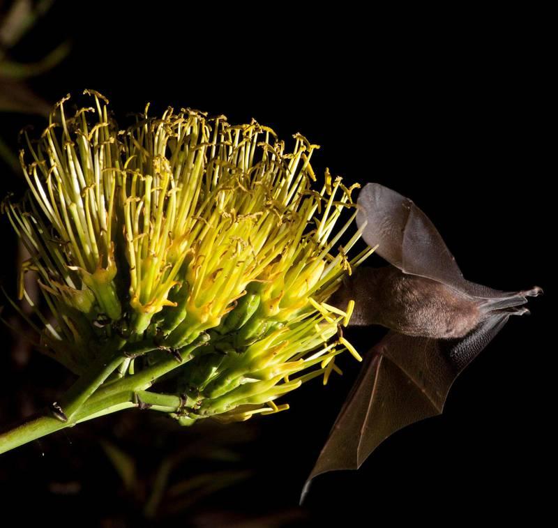 Flaggermuser utgjør en viktig del av mange økosystemer ved å holde insektsbestander nede, pollinere fruktplanter og bidra til gjenvekst i skogene. Her en flaggermus av typen Anoura, kjent spydneser på norsk, som spiser nektar av en agaveblomst i Brasil. Foto: Augusto Gomes