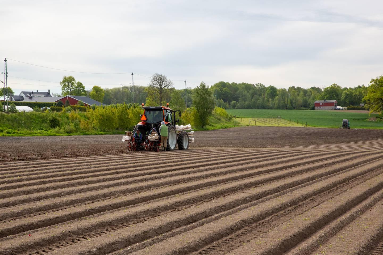 Jordbærbonden har tatt høyde for at de norske arbeiderne er langt mindre  effektive enn de utenlandske. Her fra plantingen av fjorårets jordbær på én av mange åkre som Pollestad disponerer.