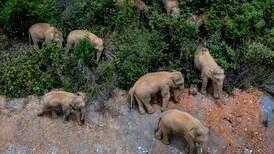 Elefanter på rømmen nærmer seg millionby
