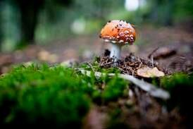 Giftig, men ikke den farligste soppen i skogen