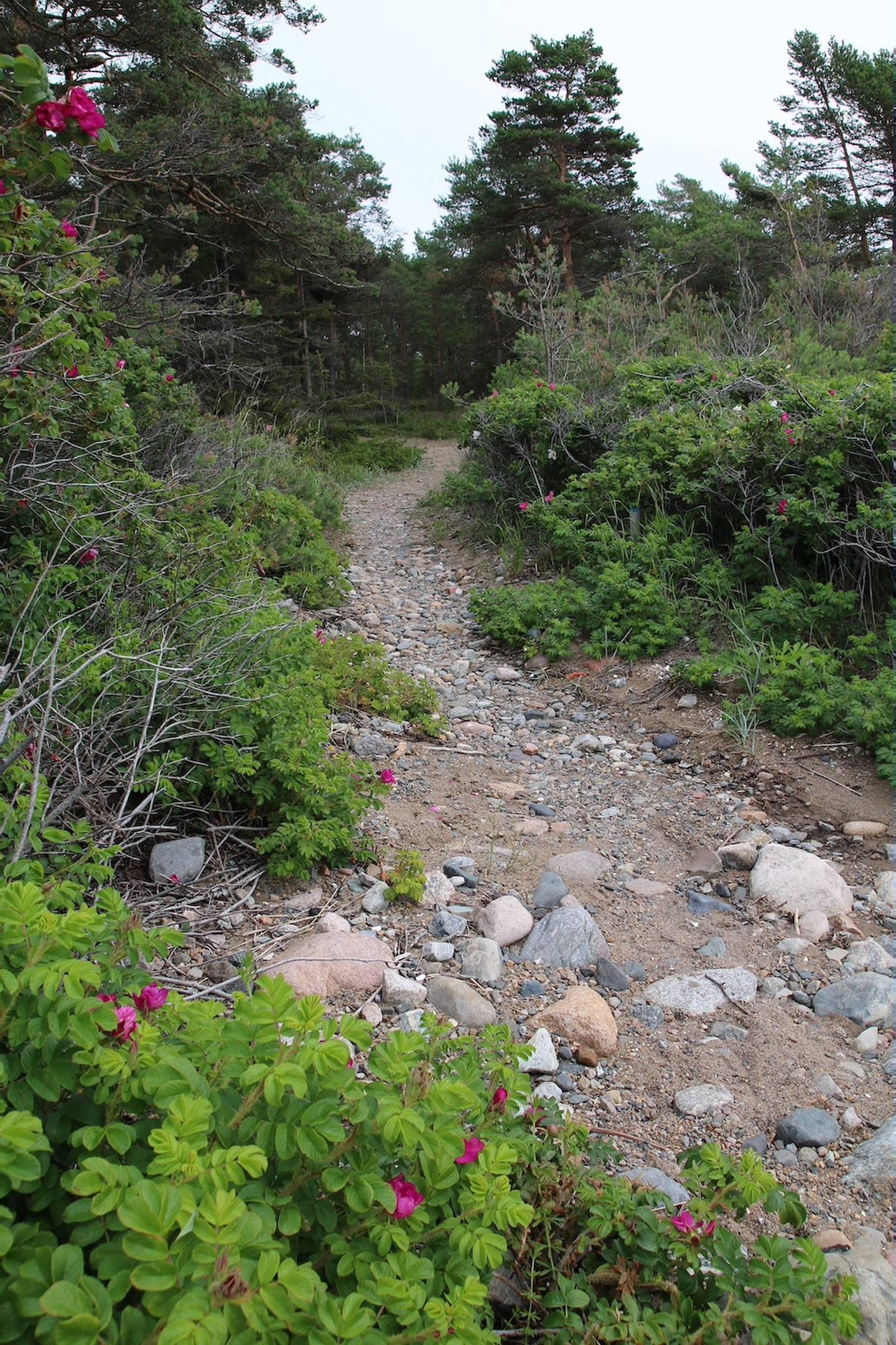 Stien fører oss gjennom et område med mange blomstrende nypebusker.