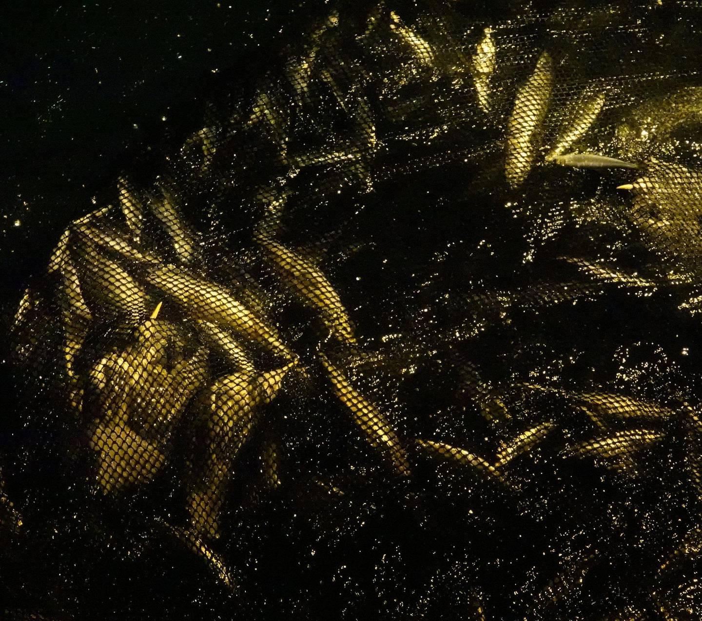 I denne sildanota er det ikke bare fisk, men også to gråmåker (nederst i venstre hjørne av bildet). Foto: Signe Christensen-Dalsgaard/NINA
