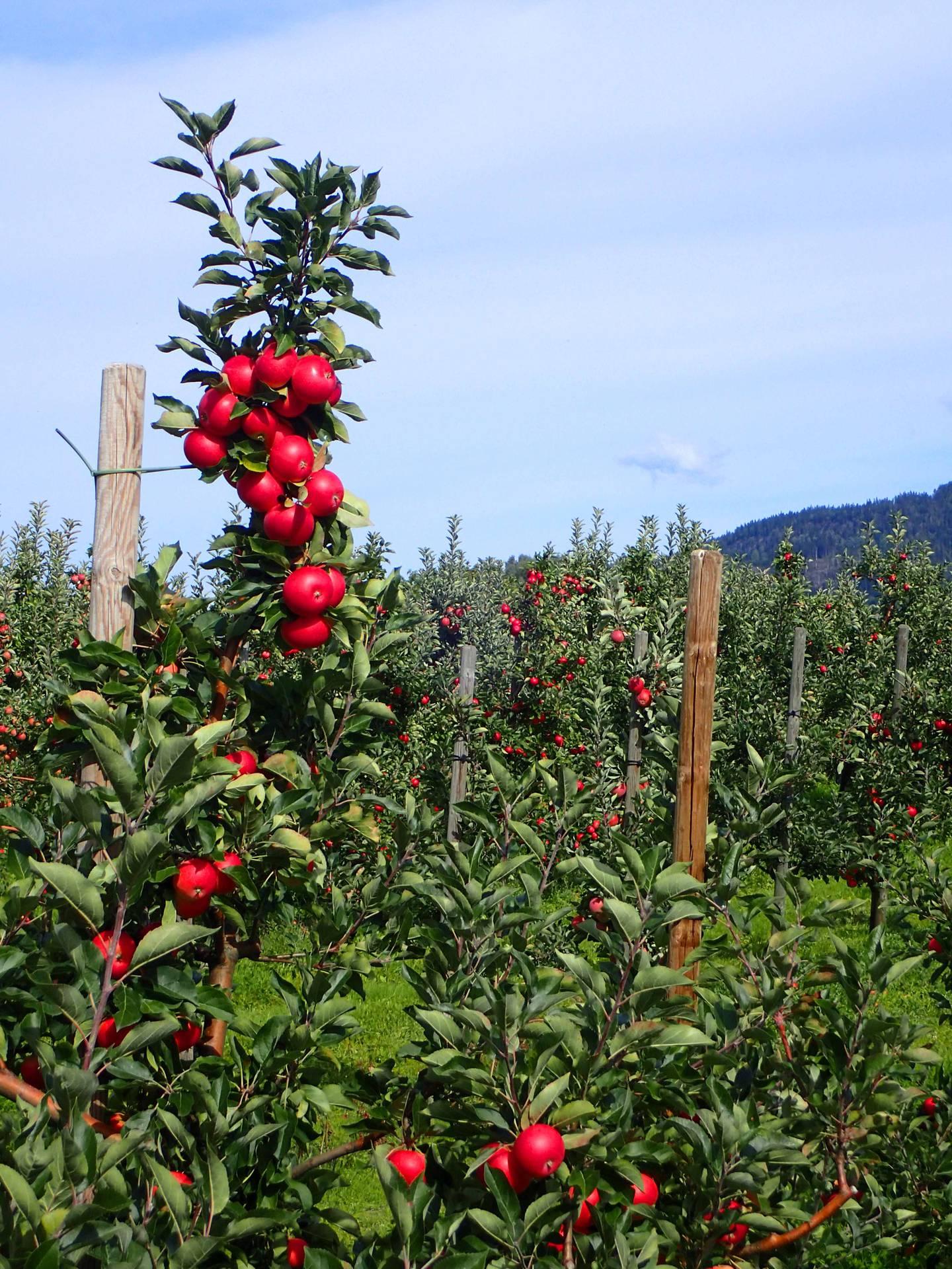 Røde epler i grønne Lier. Fra den gamle Lierbanen ved Landfall.