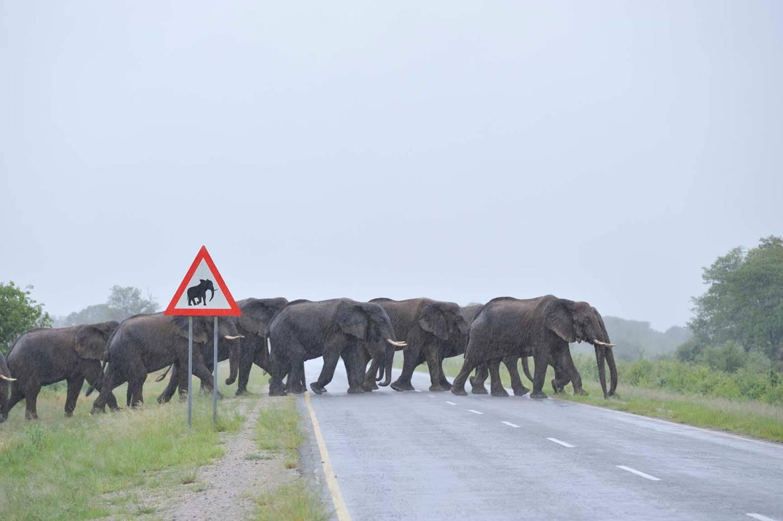 US film Zambezi, elephants cross road