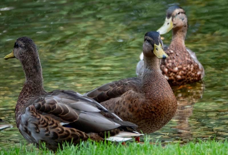 Oslo 20190715.  Fugler and og ender i vannet ved gressplenen i Slottsparken i Oslo om sommeren. Foto: Geir Olsen / NTB scanpix