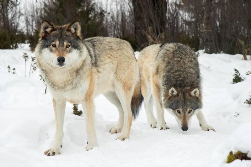 Mange lar seg fascinere av ulven og vil gjerne se den på nært hold. Langedrag Naturpark i Buskerud, som blant annet kan by på flere ulver, har 50-60.000 besøkende i året.