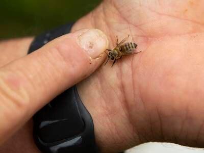Pollenspredende insekter forsvinner i raskt tempo – det er dårlig nytt for menneskeheten