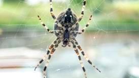 Insektsommer: La edderkoppene være i fred – de rydder opp
