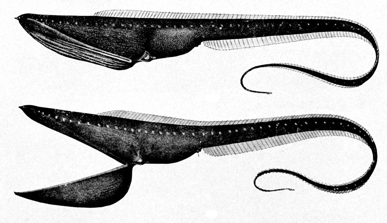 Pelikan-ål